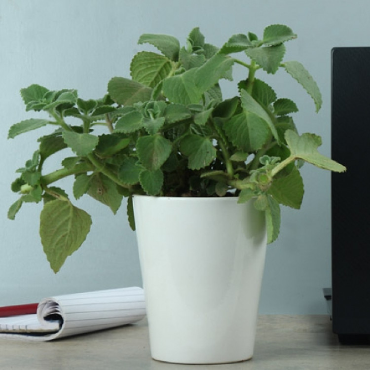 Ajwain Plant