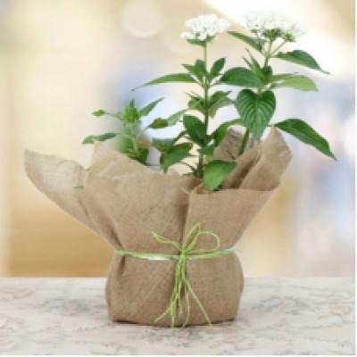 Blooming Pentas Plant