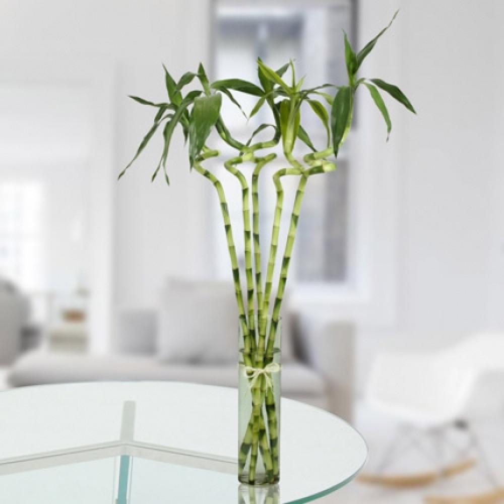 5 Spiral Stick Lucky Bamboo Chennai Online Florist