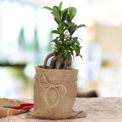 Amazing Ficus Microcarpa Plant