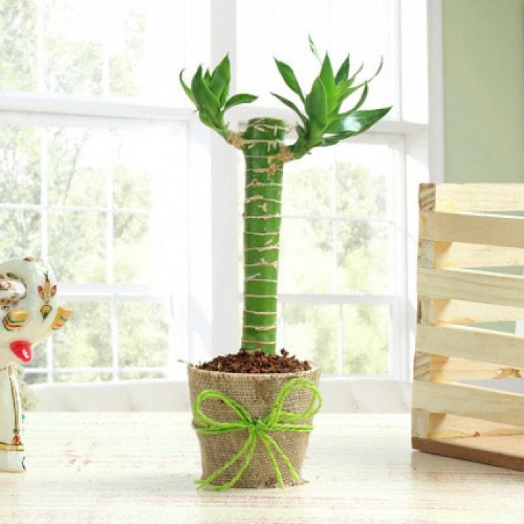 Cut Leaf Bamboo Plant