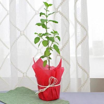 Holi Tulsi Plant