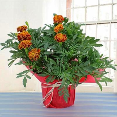 Gorgeous Marigold Plant