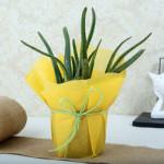 Amazing Aloe Vera Plant