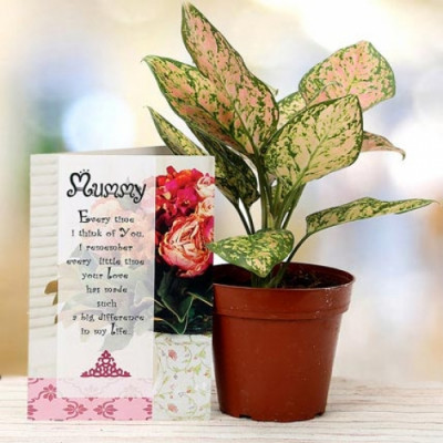 Aglaonema plant for Mom
