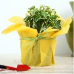 Attractive English Ivy Plant
