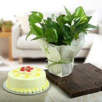 Butterscotch Cake N Money Plant